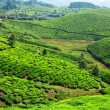 Tea plantations - Photo