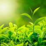 Tea bud and leaves — Stock Photo