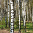Birch grove - Stock Photo