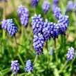 muscari neglectum — Stock Photo #5488007