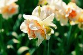 Beautiful yellow daffodils — Stock Photo