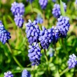Muscari neglectum — Stock Photo #5523931