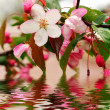 Blossoming of sakura flowers — Stock Photo