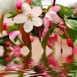 Цветущие цветы сакуры — Стоковое фото
