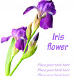 Iris flower — Stock Photo