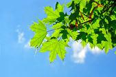 绿色的枫叶 — 图库照片