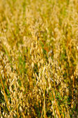 Field of a ripe oat — Stock Photo
