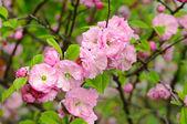 Blossoming of sakura flowers — Stock Photo
