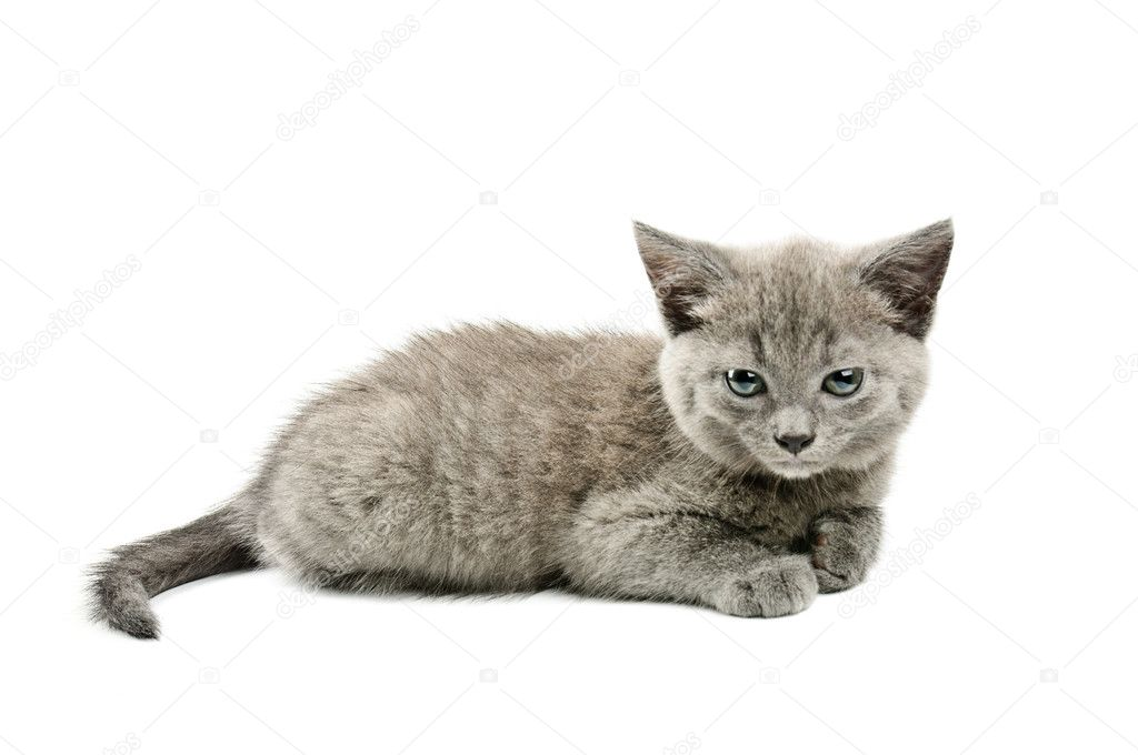 Cute little grey kitten isolated on white background  Stock Photo #6638448