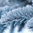 Winter frost on spruce tree close-up . — Stock Photo #6028064