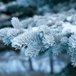 Winter frost on spruce tree close-up . — Stock Photo #6028075