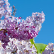 Bunch of violet lilac flower — Stock Photo #6030568