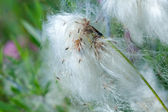 Cotton grass. — Stock Photo