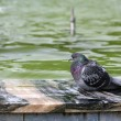 Blue rock pigeon — Stock Photo