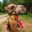 Proud young camel — Stock Photo #6180545
