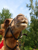 The head of a young camel — Stock Photo