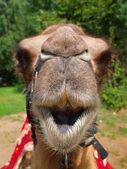 The head of a young camel. — Stock Photo