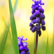 Royalty-Free Stock Photo: Muscari neglectum close up