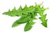 сочные листы одуванчика — Стоковое фото