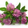Clover flowers - Foto Stock