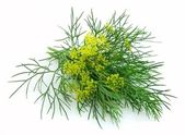 Blossoming fennel — Stock Photo