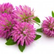 Stock Photo: Clover flowers