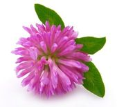 Clover flower — Stock Photo