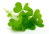 Leaf clover — Stock Photo