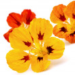 Stock Photo: Nasturtium flowers