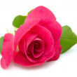 Pink rose in closeup — Stock Photo