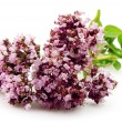 Blossoming oregano — Foto Stock