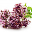 Blossoming oregano — Foto de Stock