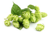 Blossoming hop — Stock Photo
