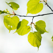 Green tilia leaves — Stock Photo