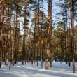 Pine forest in frozen day — Stock Photo #5429252