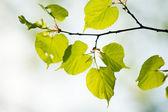 Green tilia leaves — Stock Photo