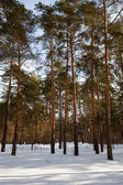 Winter lanscape with pine forest — Stock Photo