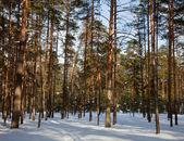 Çam ormanı içinde donmuş gün — Stok fotoğraf