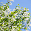 Wild cherry in spring — Stock Photo