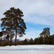 Winter lanscape with pine trees — Stock Photo