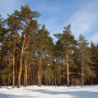 Pine trees in sun wintry day — Stock Photo