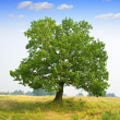 Oak tree - Stock Photo