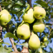 Ripe pears — Stock Photo #5712313