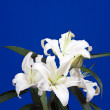 White lily on blue — Stock Photo #5712539