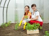 Women planting tomato spouts — Stock Photo