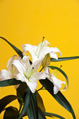 White lily on yellow — Stock Photo