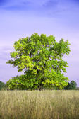 Summer landscape with oak Summer landscape with oak — Stock Photo