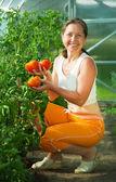 Smiling woman picking tomato — Stock Photo