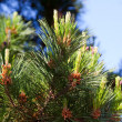 Stock Photo: Branches of pine tree