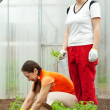 Women planting tomato seedlings - Stock Photo
